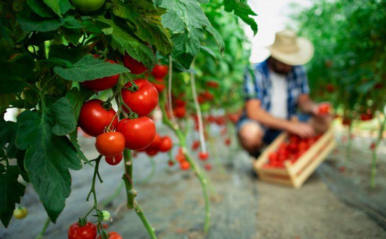 Тайни за отглеждането на домати