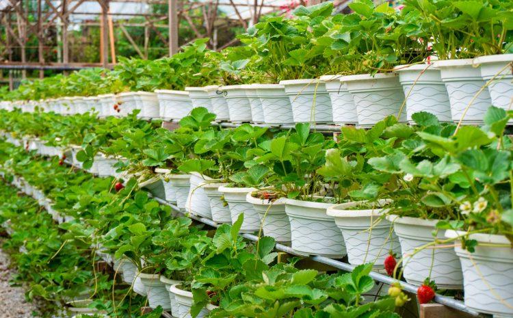 Отглеждане на ягоди в саксия – мисията възможна
