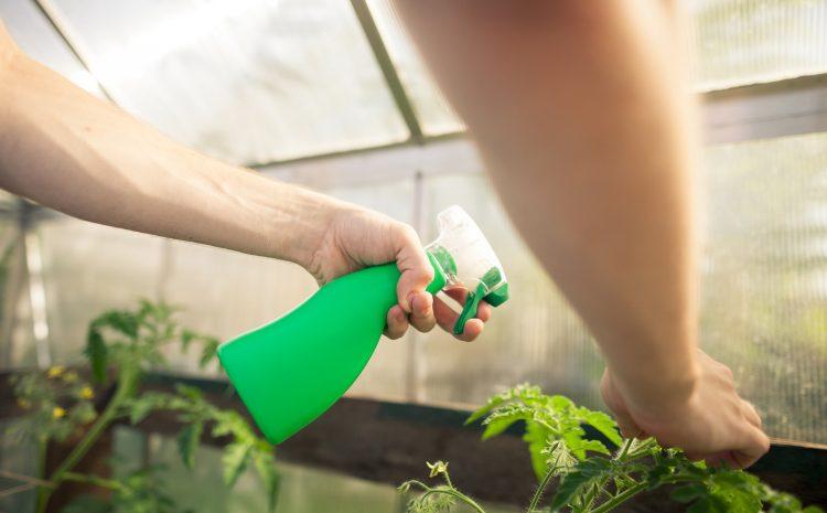 С какво се пръскат доматите след засаждане