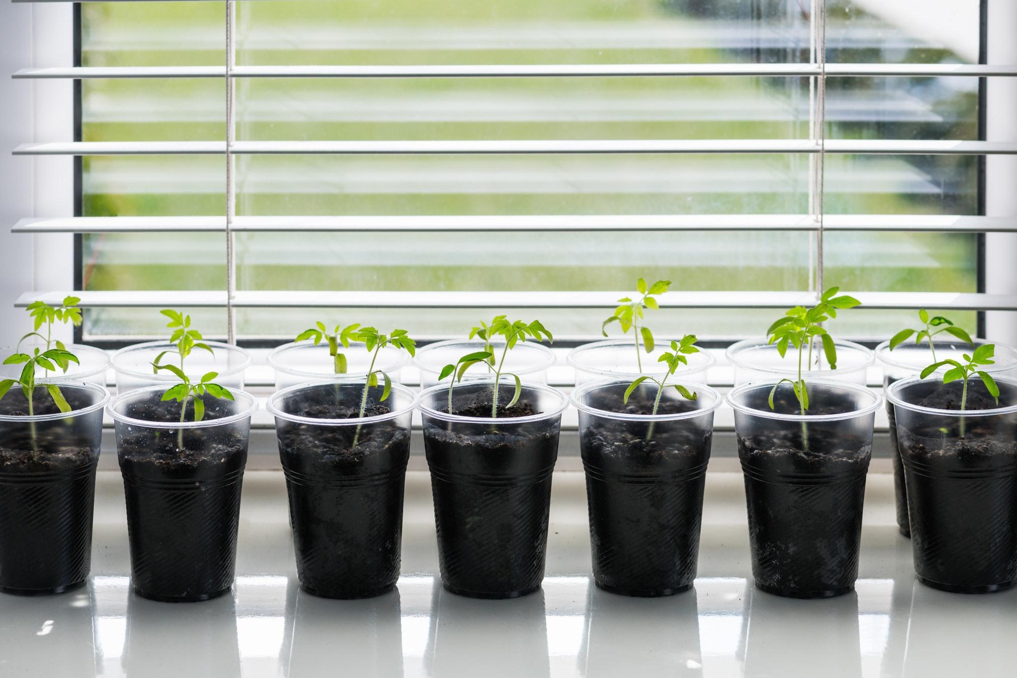 Отглеждане на разсад домати в апартамент